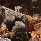 Black-flanked Rock-wallaby (Petrogale lateralis) - Mandu-Mandu Gorge, Western Australia by Dan Monceaux