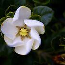 First Gardenia by Sue Frank