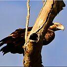 Eagle Eye by Kym Howard