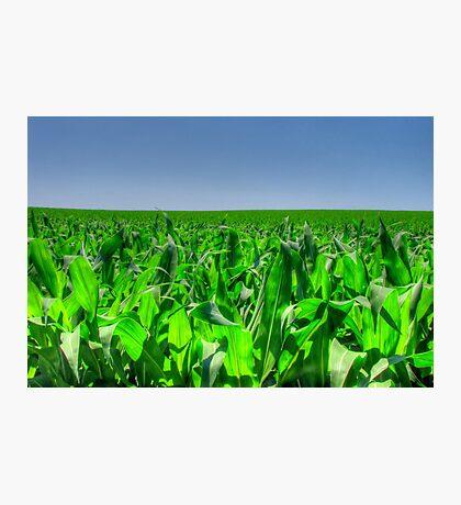 Corn Field Photographic Print