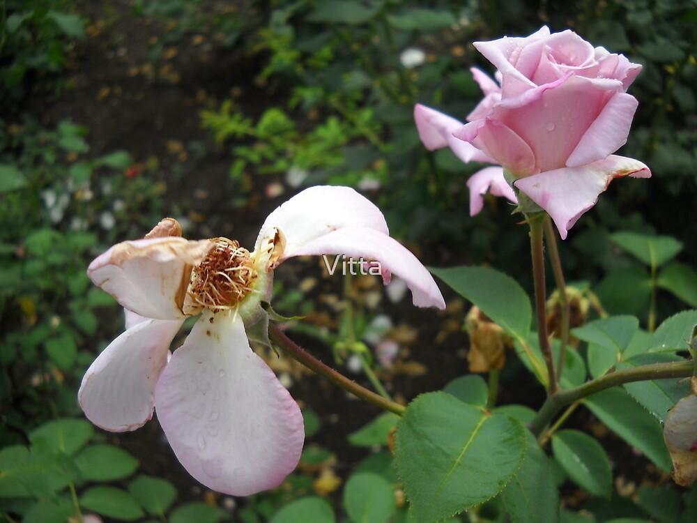 Amazing Roses # 8. by Vitta