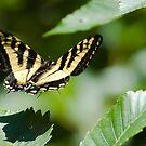 Swallowtail Butterfly in Flight by David Friederich