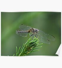 Paper Thin Wings - FEATURED PHOTO! Poster
