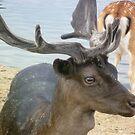 Fallow Deer at Bushy Park by Chris1249