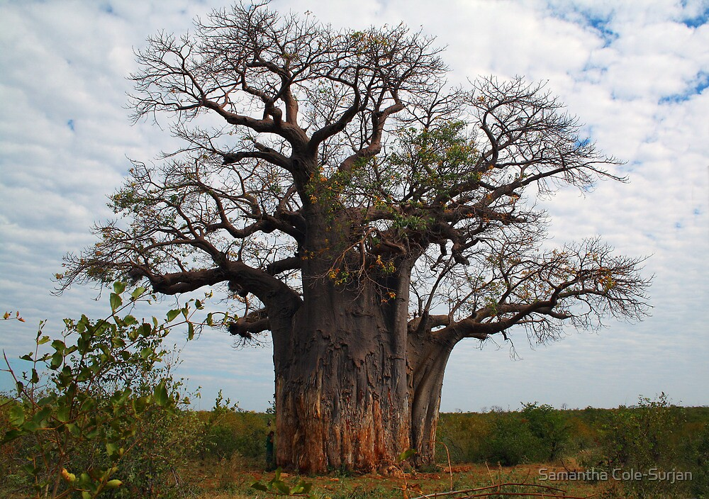 Quot Baobab Tree Botswana Quot By Samantha Cole Surjan Redbubble
