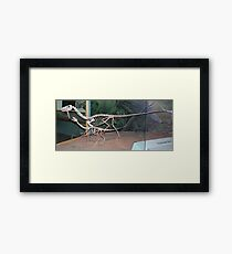 Funky Coelophysis Framed Print