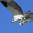 Osprey catch of the day ! by Anthony Goldman