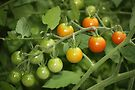 fresh tomatoes by ANNABEL   S. ALENTON