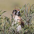 brown falcon by birdpics