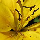Petals and Pollen Grains - Sunlit Yellow Lily von BlueMoonRose