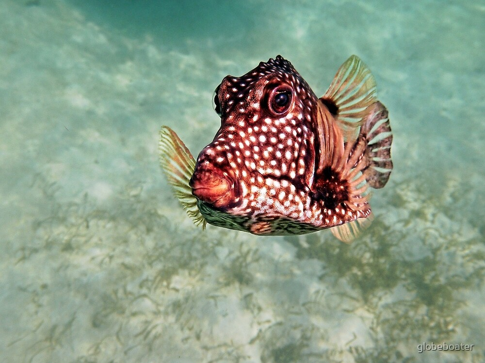 trunkfish by globeboater