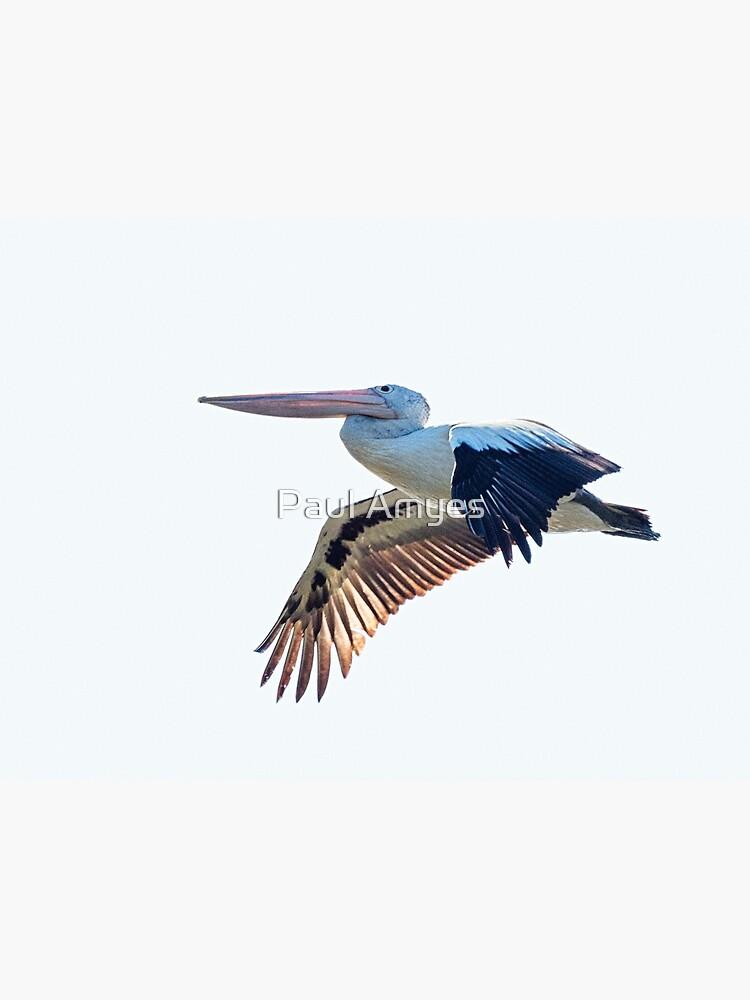 Australian Pelican by AmyesPhotograph