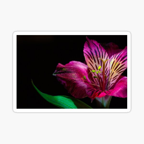 Close up image of a Bright Pink Lily Flower photographed against a black background Sticker