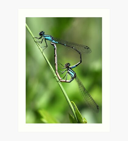 Bluets Mating Game Art Print
