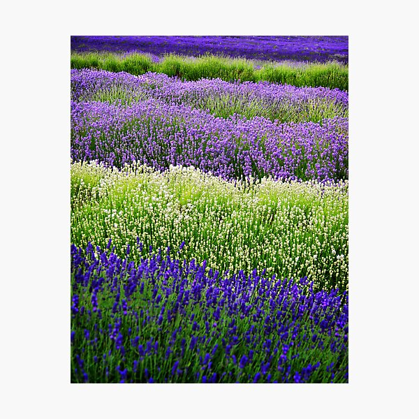 Lavender Layers, The Cotswolds, England Photographic Print