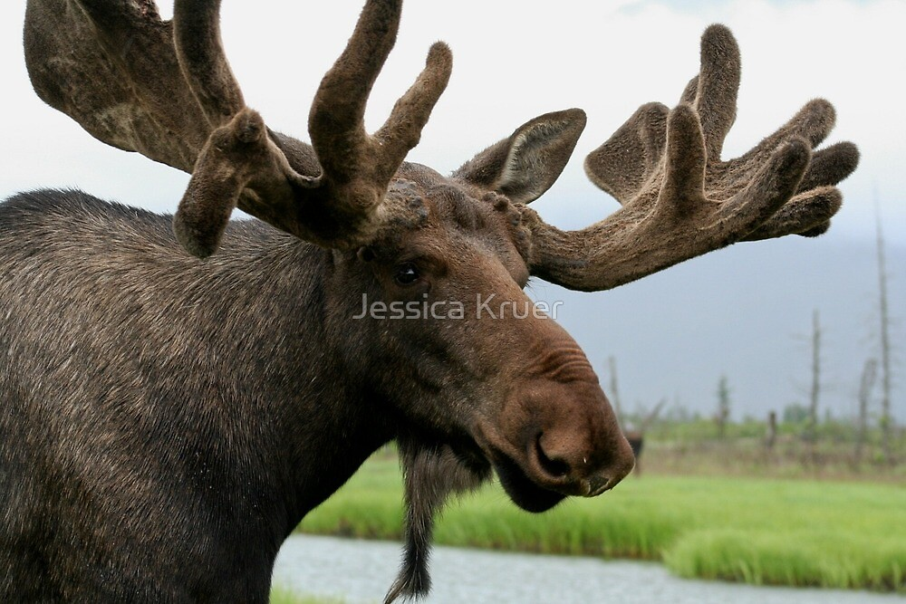 Moose by Jessica Kruer