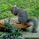 Grey squirrel - free lunch ! by Roy  Massicks