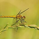 Female Vagrant Darter by Robert Abraham