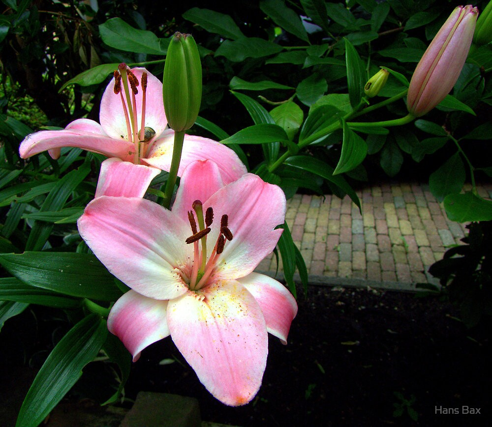 Soft Pink by Hans Bax