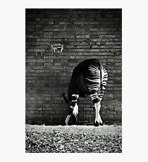 Okapi Photographic Print