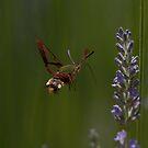 Broad-bordered Bee Hawkmoth by David Clarke