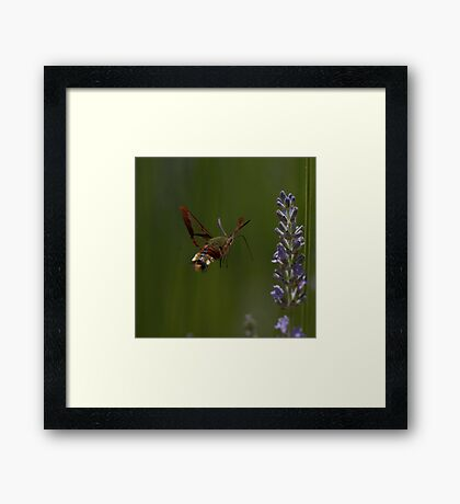 Broad-bordered Bee Hawkmoth Framed Print