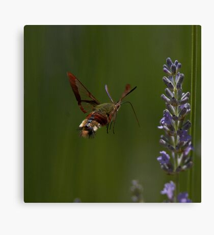 Broad-bordered Bee Hawkmoth Canvas Print