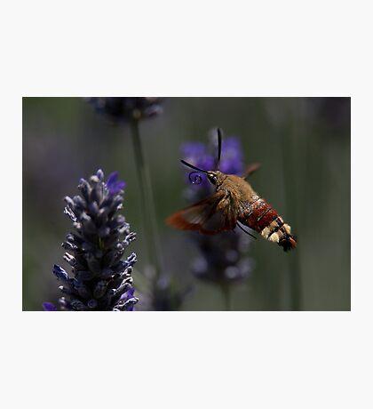 Broad-bordered Bee Hawkmoth 2 Photographic Print