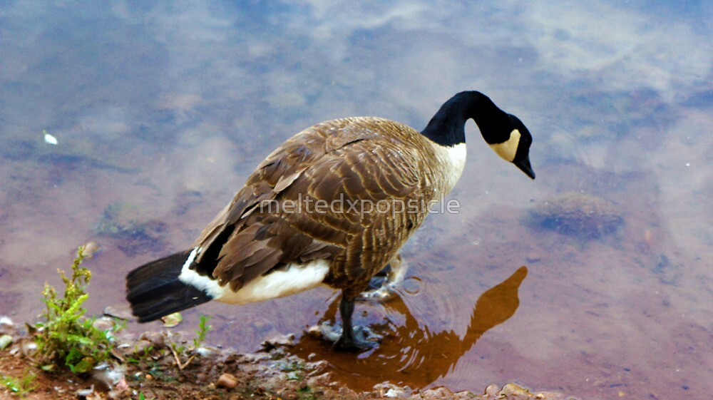 Goose Reflection by Jessica Liatys