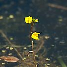 Bladderwort is not  a social disease! by Mike Oxley