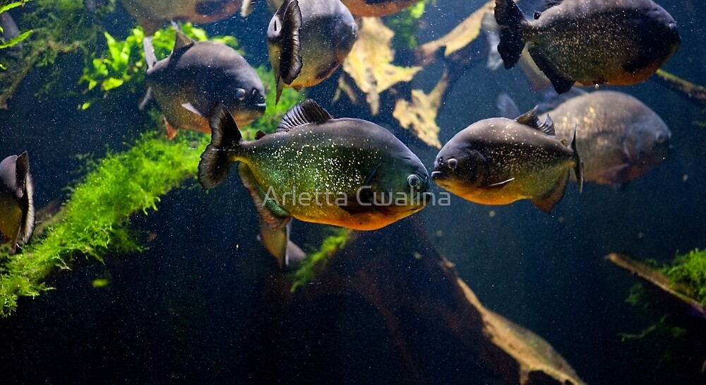 Red bellied piranha or red piranha by Arletta Cwalina
