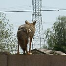 coyote headed home by Bonnie Pelton