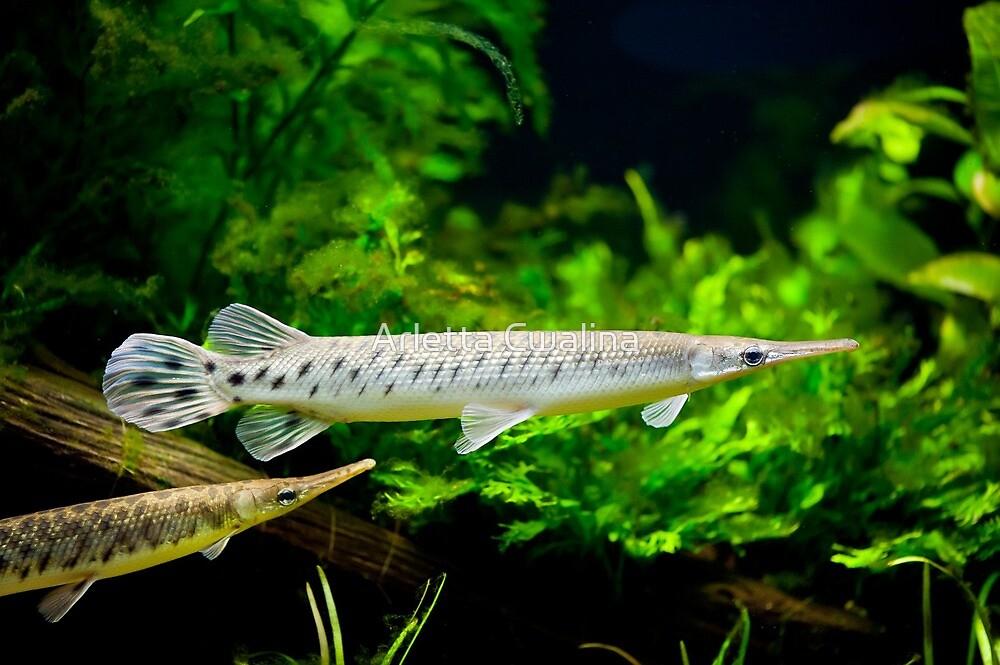 Spotted gar aquarium fishes pair by Arletta Cwalina