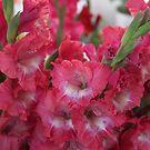 Blooming Gladiolus by Elspeth  McClanahan