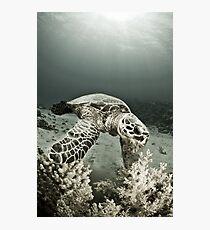 Reptile world, Hawks-bill turtle feeding Photographic Print