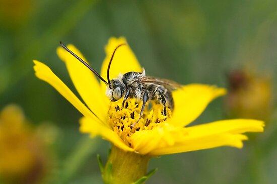 Eucerini Bee on Bidens flower by AnnoraBee