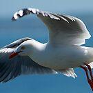 Silver Gull taking Flight - Phillip Island by Graeme Lawry