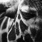 Giraffe Eye-Contact by George Wheelhouse