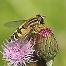 Hoverfly - Helophilus trivittatus by Robert Abraham