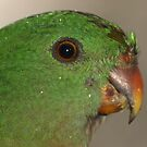 King Parrot during the rain Canberra by Tom McDonnell