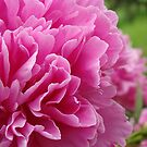 Peonies Inner Folds by PatChristensen