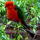 The Australian King Parrot (Alisterus scapularis) by ronsphotos