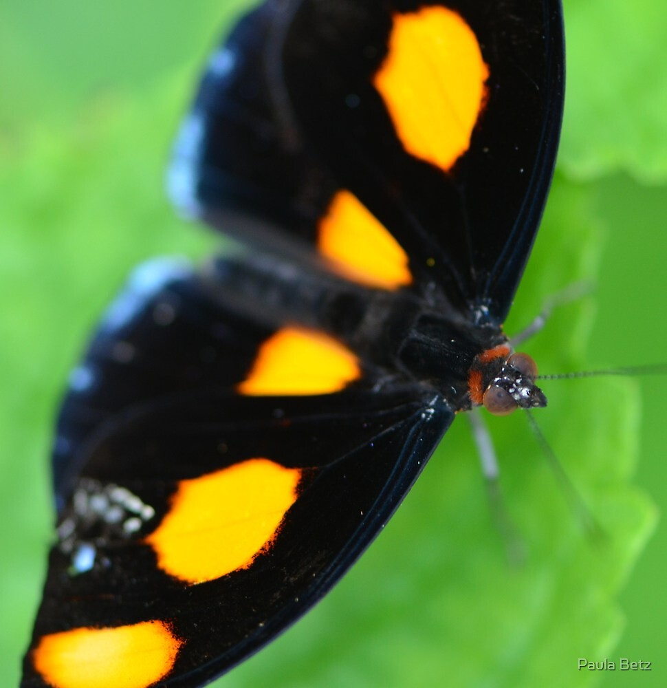 Orange Shoemaker Butterfly by Paula Betz