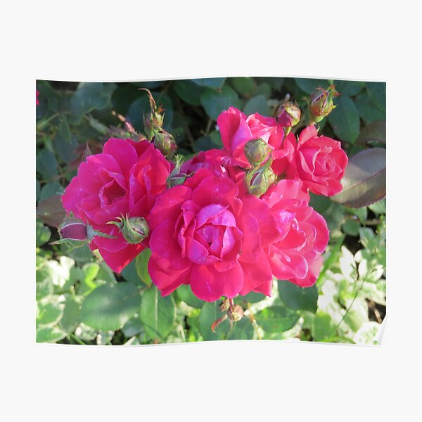 Beautiful old fashioned red roses Poster