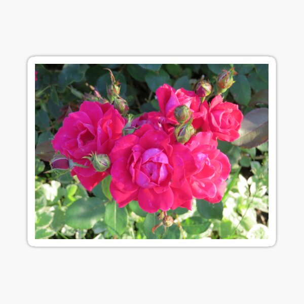 Beautiful old fashioned red roses Sticker
