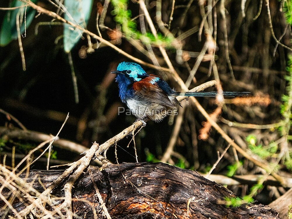 Red-winged Fairy-wren by Paul Amyes