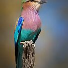 Lilac Breasted Roller (Coracias caudatus), Botswana by Neville Jones
