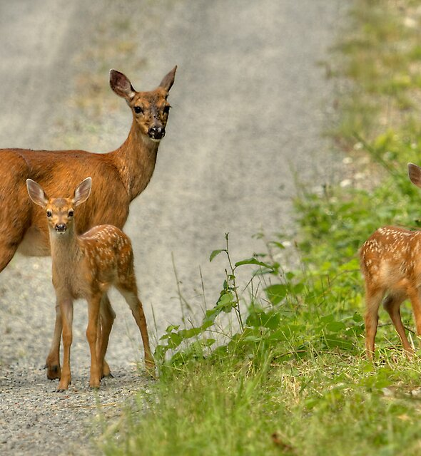 FAWNS by Sandy Hill