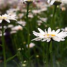 Blooming Daisies by kkphoto1