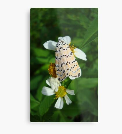 "So delightfully ""bella""!  The beautiful Ornate Bella Moth Metal Print"